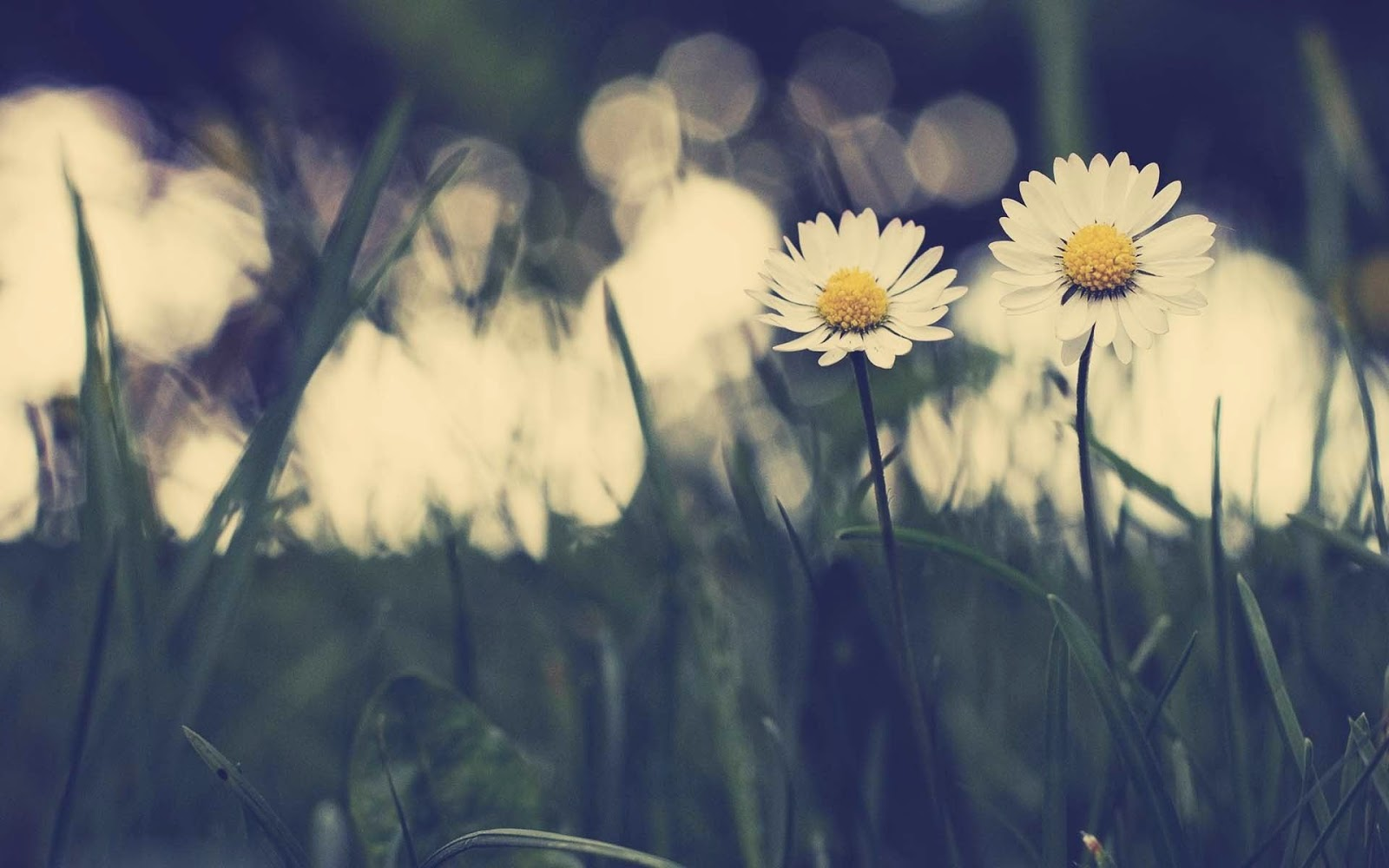 Daisy-flower-photography-stock-images